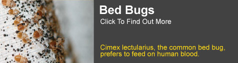 bed bug Grafton