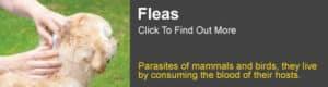 Flea Information