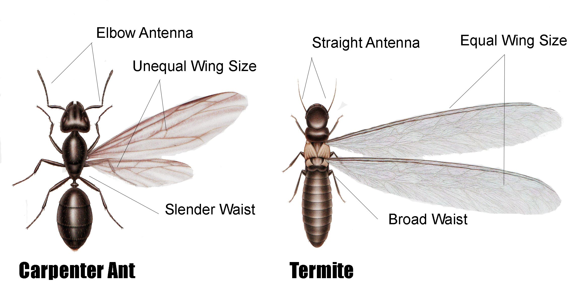 Carpenter Ant Or Termite Damage East Coast Building Pest